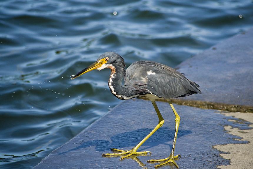Tri-colored heron, Morton Lake, Lakeland, Florida