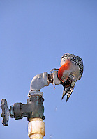 Red bellied woodpecker, Melanerpes calolinas, drinking from outside faucet with some effort, Midwest USA