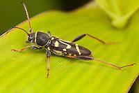 Longhorned Beetle (Clytus ruricola), Ward Pound Ridge Reservation, Cross River, Westchester County, New York