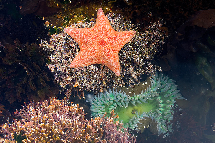 Tidepool - Batstar and Green Anemone, Carmel Point, Carmel, California.