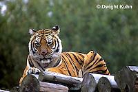 MA40-017d  Bengal Tiger - Panthera tigris