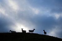 Sheep on hillside, New Zealand