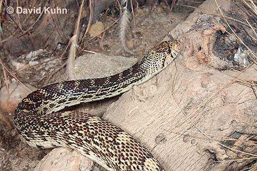 0519-1108  Gopher Snake (Pine Snake, Bull Snake), North American, Pituophis catenifer  © David Kuhn/Dwight Kuhn Photography