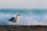 A Kelp Gull rests on exposed intertidal rock flats, De Hoop Marine Protected Area, Western Cape, South Africa
