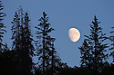 Moonrise and pine trees on ridge above the Rogue River, Oregon.