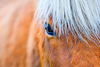 Close up of the eye of a Icelandic horse