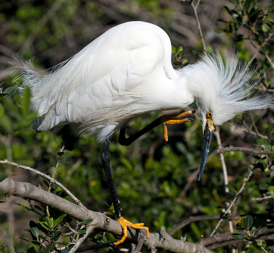 Snowy Egreat perched in a tree in a florida wetland