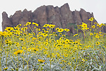 Lost Dutchman State Park - Wildflowers