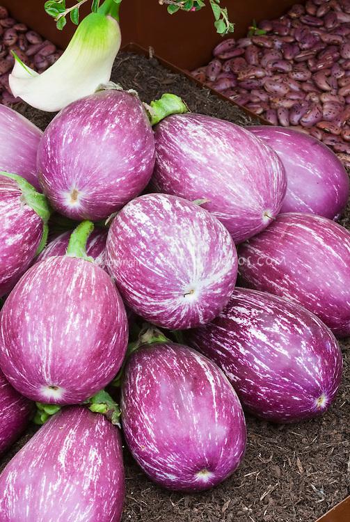 Striped Eggplant Aubergines, Italian variety Listada de Gandia