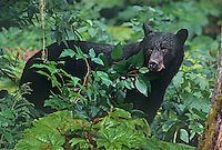 609650343 a wild american black bear ursus americanus forages in a temperate rain forest in southeast alaska