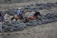 A wild stallion attempts to escape from cowboys roping him during a BLM gather in Divide Basin in Wyoming.  <br />