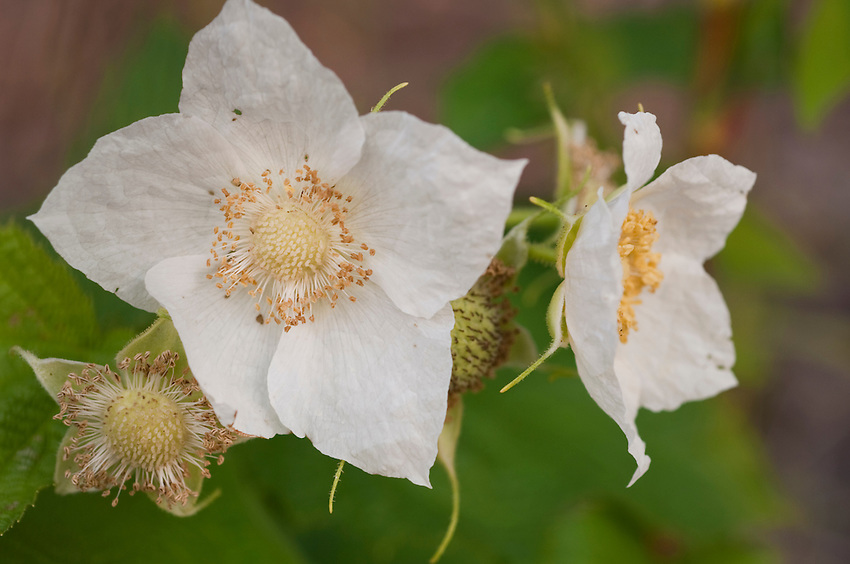 Thimbleberry blossoms at Isle Royale National Park.