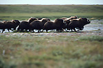 Muskox migration, Sadlerochit River, Alaska