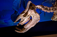 Stock photo of the head of a Chilotherium (Hippo-Rhino) skeleton at the new Paleontology Hall at the Houston Museum of Natural Science
