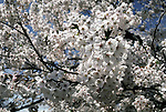 Cherry blossom tress in full bloom at the Cherry Blossom Festival held in Oyo Park near Hirosaki Castle in Aomori Prefecture in Northern Honshu, Japan. Over 1500 cherry trees come into bloom from late April to Early May. (Jim Bryant Photo)......