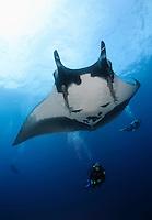 QT2362-D. Manta Ray (Manta birostris) swims above scuba diver (model released). Baja, Mexico, Pacific Ocean.<br /> Photo Copyright &copy; Brandon Cole. All rights reserved worldwide.  www.brandoncole.com