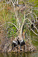Anhinga snakebird pair one on nest and the other air drying feathers in the sun, Everglades, Florida, USA