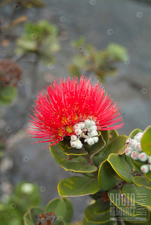 A red lehua blossom - said to be the favorite flower of volcano goddess Madame Pele - on an 'ohi'a bush brightens up an otherwise gray landscape inside Kilauea Iki Crater in Hawai'i Volcanoes National Park, Hawai'i Island.