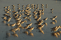 A flock of Sanderlings scavenge at Santa Monica Beach on Tuesday, October 26, 2010.