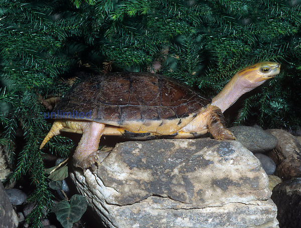 McCord's Box Turtle (Cuora mccordi), a rare turtle discovered in 1986. Now critically endangered, it lives only in small streams of mountain ranges in Southern China.