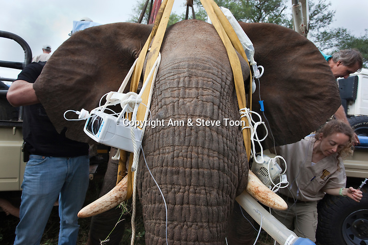 Wild elephant bull, Loxodonta africana, being prepared for vasectomy operation in bush by the Elephant Population Management Program team. Private game reserve in Limpopo, South Africa