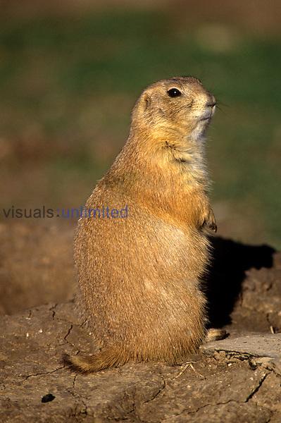 .Prairie Dog (Cynomys ludovician)...