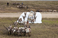 Bovanenkovo ,Yamal Peninsula, Russia, 09/07/2010..Nenets sledges and reindeer use insulation material to cross a new Gazprom built road while heading north to the Russian Arctic coast. The Nenets had previously been unable to follow their traditional migration routes because new roads constructed by Gazprom damage the sledges.
