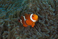 Courious clownfish Inside anemone at Keramas Island Okinagua Japan.