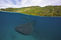 The star attraction in Oslob are the whale sharks, it's easy to see why people would com from all over the world for a guaranteed encounter with the worlds biggest fish.