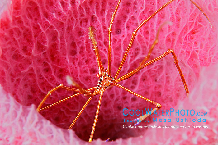 Yellowline Arrow Crab, Stenorhynchus seticornis, Midway, on pink vase sponge, Niphates digitalis, Cayman Brac, Cayman Islands, Caribbean Sea, Atlantic Ocean