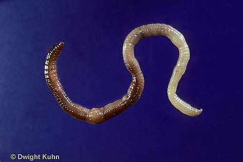 1Y01-162z  Earthworm - nightcrawler showing anatomy - Lumbricus terrestris