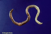 1Y01-162z  Earthworm - nightcrawler showing anatomy - Lumbricus terrestris