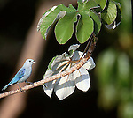 Blue-grey tanager, Thraupis episcopus, Panama