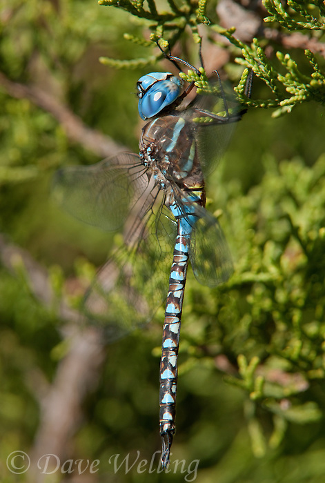 339360017 a wild male blue-eyed darner dragonfly rhionaeschna multicolor perches on a small limb at southeast regional park austin travis county texas united states