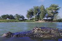 American Alligator (Alligator mississipiensis), adult in pond, Rio Grande Valley, Texas, USA