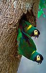 Golden-collared macaws, <br /> Pantanal, Brazil