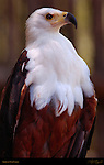 African Fish Eagle, African Sea Eagle