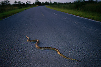 A Burmese Python slithers across a road it was caught on in Everglades National Park. One time pets get too big and hungry for owners to handle and they are released into the &quot;wild.&quot; <br /> In the 70s a few Burmese python citings were documented in the park. In the mid-90s, there were more reports. In the past two years, the number has grown and there is evidence that the snake that grows to 12 feet long is established and breeding in the park. Enough have multiplied that native Everglades wildlife is threatened.