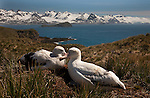 Wandering Albatross (Vulnerable)<br /> South Georgia Island<br /> Canon EOS 5D<br /> EF24-70mm f/2.8L USM<br /> December 2006