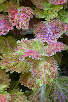 Solenostemon (Coleus) 'Funfair' ornamental frilly edged annual foliage plant in colorful shades of pastel pink and green with mottled yellows