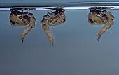 Asian Tiger Mosquito pupae (Aedes albopictus).