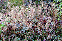 Heuchera Harry Hay in bloom