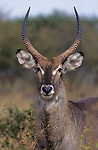Waterbuck, Kobus ellipsiprymnus, in Kruger National Park, Mpumalanga, South Africa