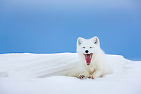 Arctic fox in white winter coat rests in a snowdrift along a lake in Alaska's arctic north slope.