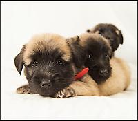 Britain's rarest dog breeds under threat.
