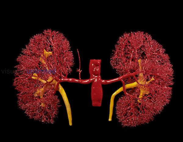 Human kidneys. Resin cast showing the arterial blood vessels of the kidneys. The ureters and renal pelvis (yellow) drain urine away from the kidney to the bladder. The kidneys filter the blood and remove waste products into the urine. The entire volume of blood in the body passes through the kidneys approximately every five minutes. Note suprarenal artery.