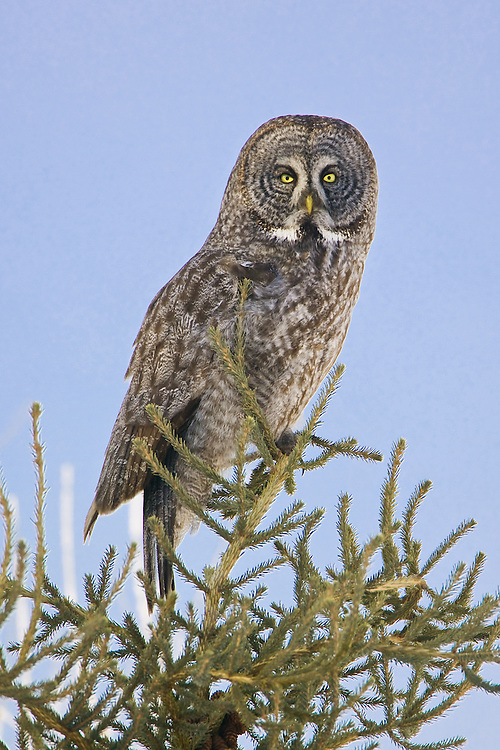 Great Grey Owl perched at the top of a fir tree