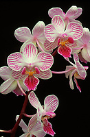 Phalaenopsis Little Hal 'Diane', AM/AOS. Multifloral candy-striped. hybrid of Cassandra x Peppermint, 1978