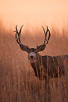 Mule deer (Odocoileus hemionus) buck at sunrise