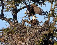 Bald Eagles rebuilding the Llano, TX nest for the coming season.